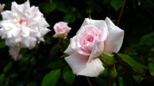 Pink Cecile Brunner Roses