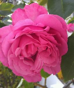 Fragrant Pink Rose in Bloom