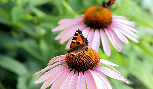 Is Echinacea Effective for Treating Colds and the Flu?