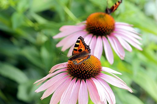 Echinacea Purpurea flowers. By Calle Eklund/V-wolf (Own work) [GFDL (http://www.gnu.org/copyleft/fdl.html) or CC BY-SA 3.0 (http://creativecommons.org/licenses/by-sa/3.0)], via Wikimedia Commons.